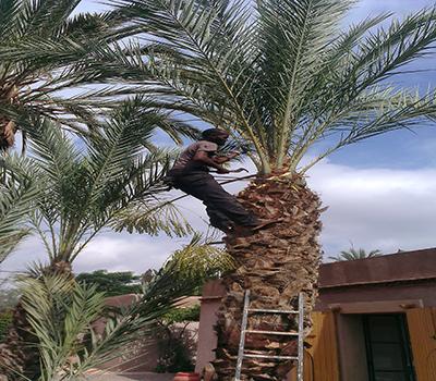 élagage palmiers à Marrakech